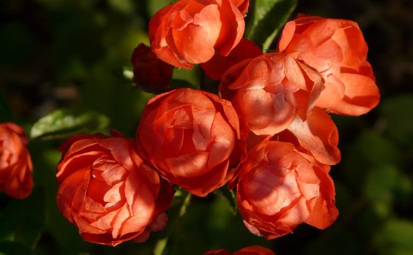 Taille des rosiers : Mes secrets